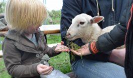 Lammetjesdag in de Hollandse Biesbosch