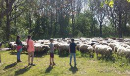 Wandel mee met de schaapsherder en zijn kudde
