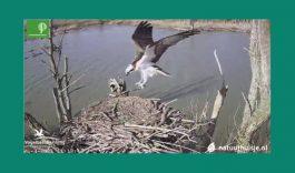 Broedende visarenden via de webcam te volgen